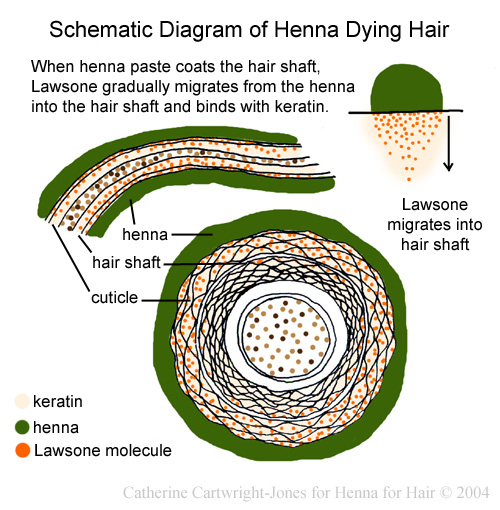 Henna For Hair How Henna Dyes Hair Schematic Diagram And Complete